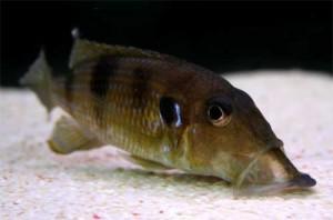 gnathochromis_permaxillaris