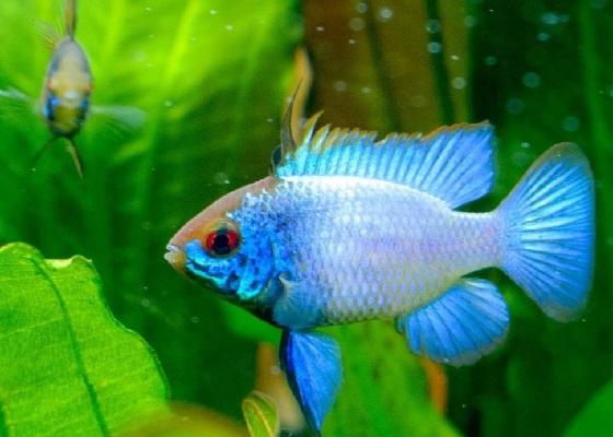 Mikrogeophagus ramirezi electric blue в аквариуме