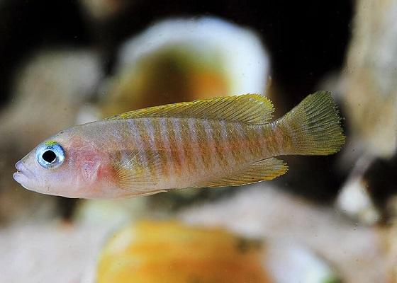 Лампрологус мультифасциатус в аквариуме