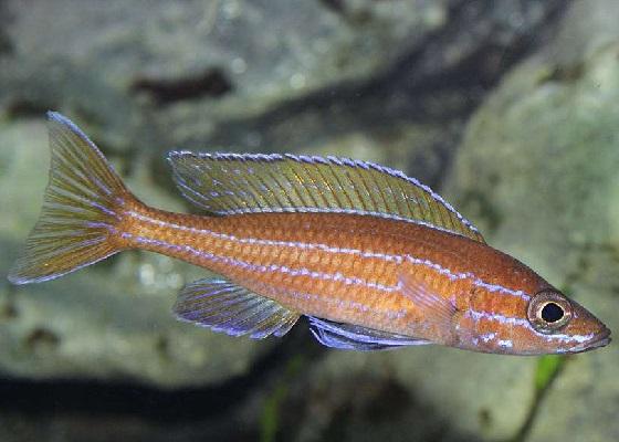 Парациприхромис Нигрипиннис