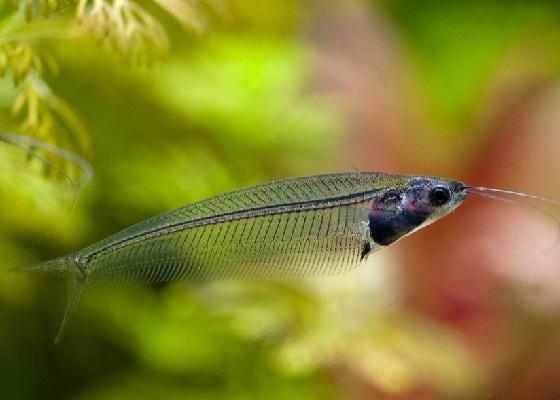 Фото - Kryptopterus bicirrhis