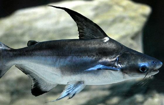 Пангасиус высокоплавничный в аквариуме