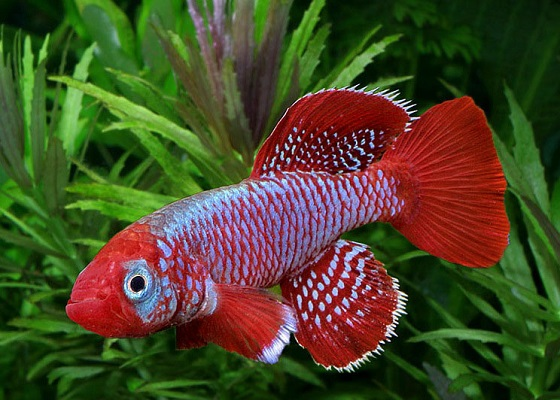 Рыбка Нотобранхиус