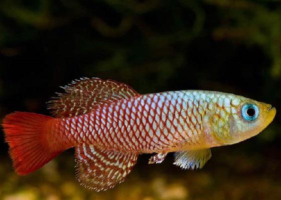 Нотобранхиус в аквариуме