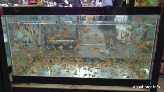 золотые рыбки - мальки
