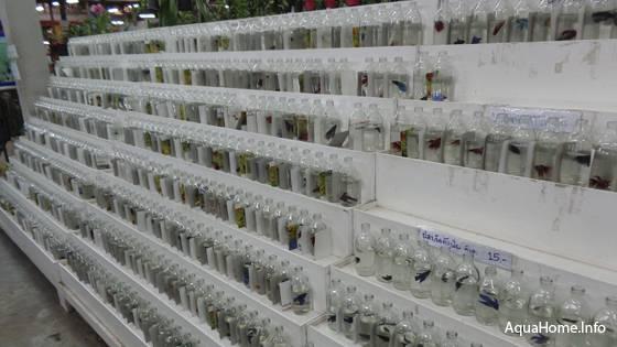Бойцовские рыбки в зоомагазине в Таиланде