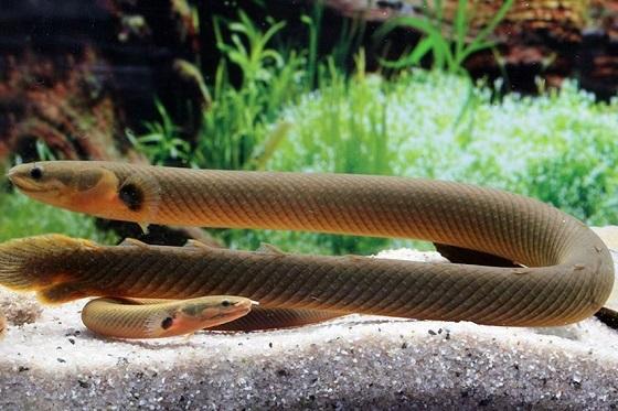 Рыба-змея