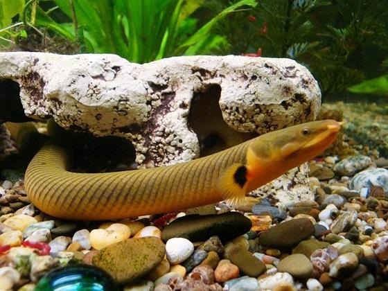 Каламоихт - Erpetoichthys calabaricus
