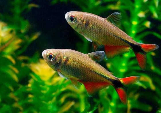 Харациновые рыбки (Characidae)