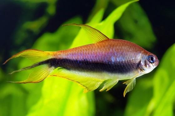 Семейство Харациновые рыбки