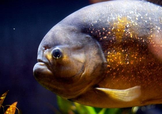 Рыба Паку - Colossoma