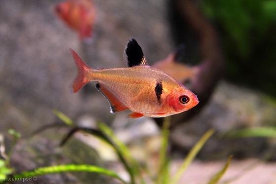 Рыбка Серпас