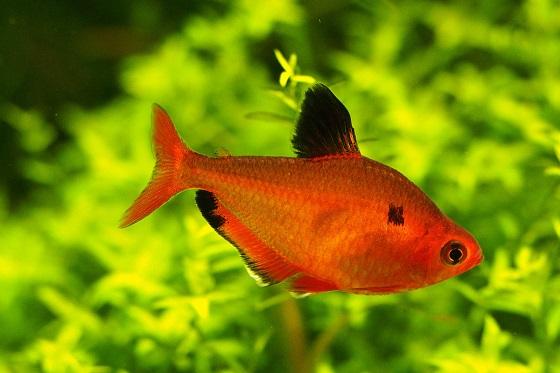 Рыбка Hyphessobrycon serpae
