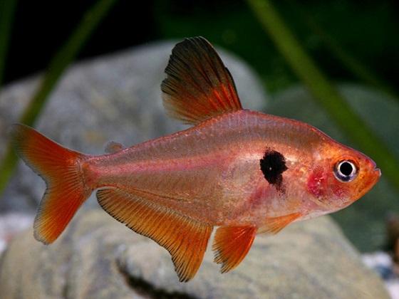 Серпас в акваруиме
