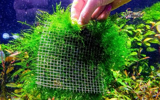Яванский мох  - Java Moss