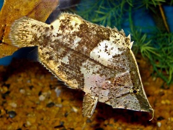 Рыба-лист - взрослая особь