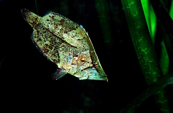 Monocirrhus polyacanthus в аквариуме