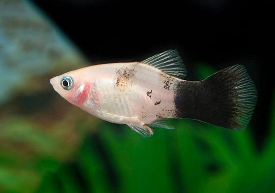 Семейство пецилиевых рыбок