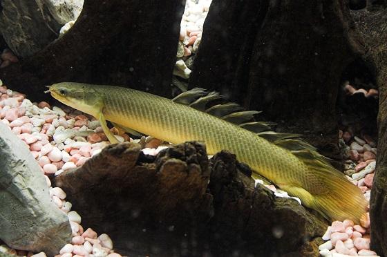 Сенегальский полиптерус - Polypterus senegalus