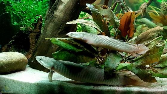Сенегальский полиптерус в аквариуме