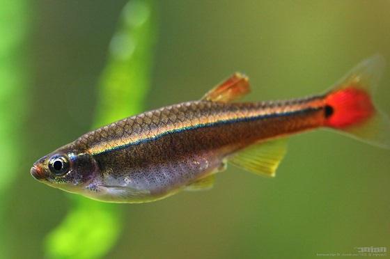 Рыбка Кардинал - Tanichtys albonubes