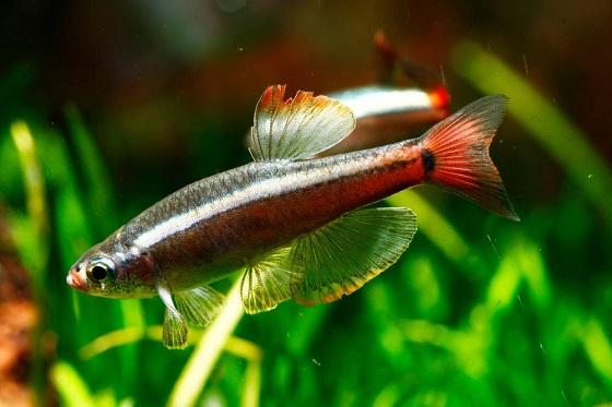 Tanichtys albonubes в аквариуме