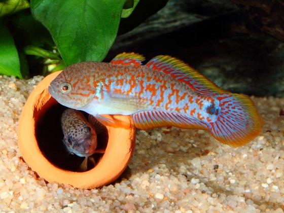 Рыбка Tateurndina ocellicauda