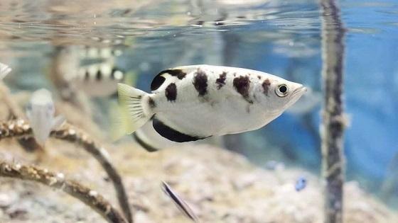 Брызгун полосатый в аквариуме