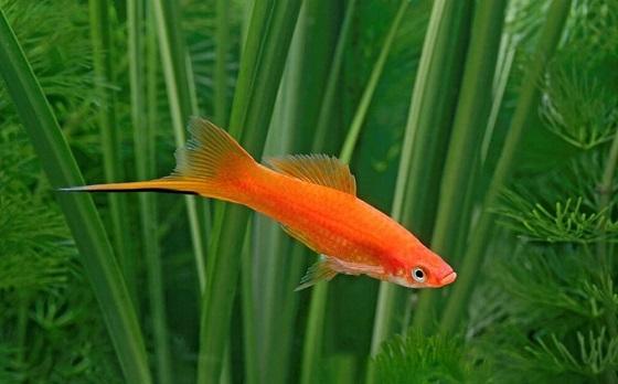 Рыбка Меченосец в аквариуме