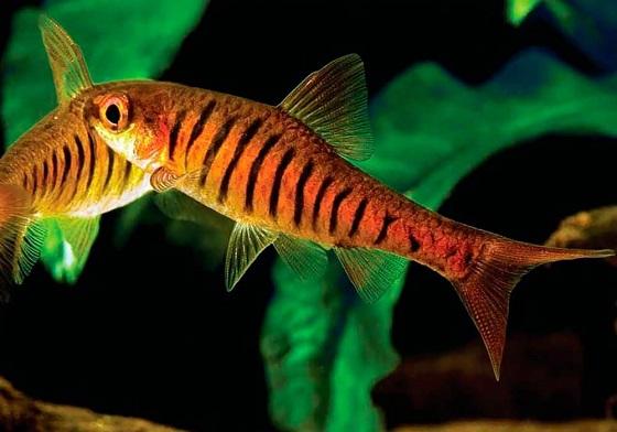 Рыбка Барбус Фасциолатус