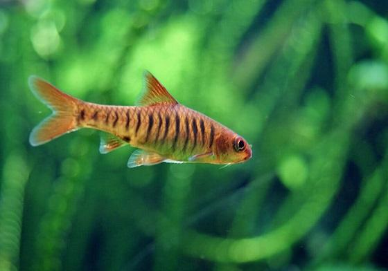 Барбус Фасциолатус в аквариуме