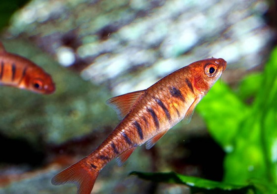 Barbus fasciolatus в аквариуме