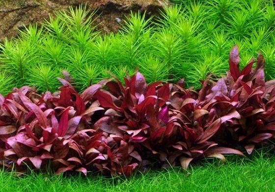 Фото аквариумных растений
