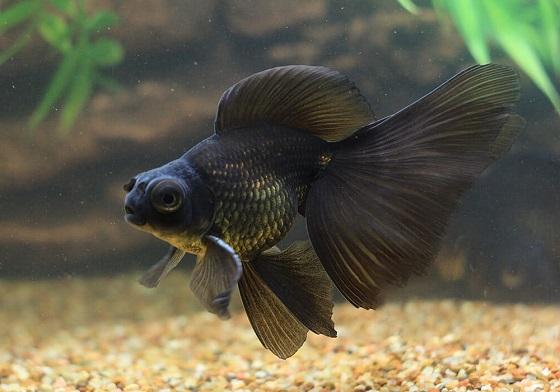 Рыбка черный телескоп
