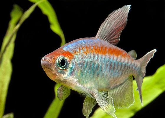 Фото - Рыбка Конго