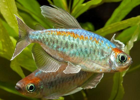 Тетра Конго в аквариуме