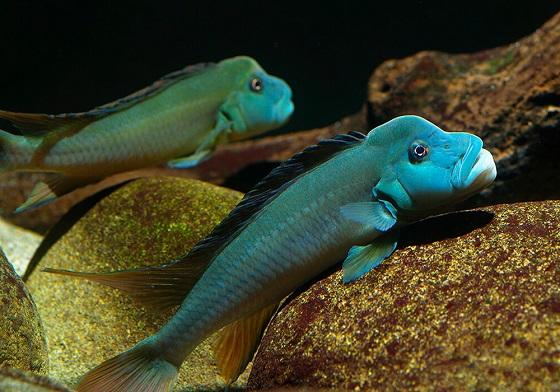 Стеатокранус сизый - Steatocranus tinanti
