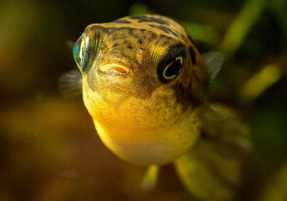 Рыба Тетраодон